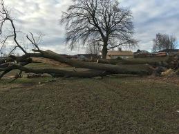 Stormfældet egetræ